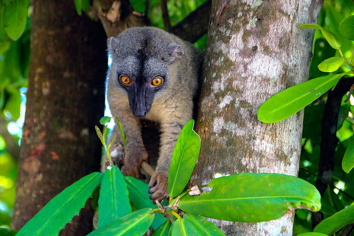 Most common lemur in Madagascar