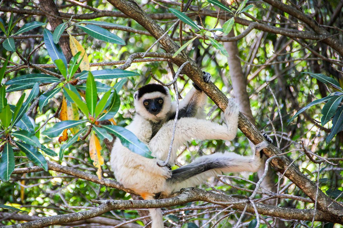Rare white lemur in Madagascar